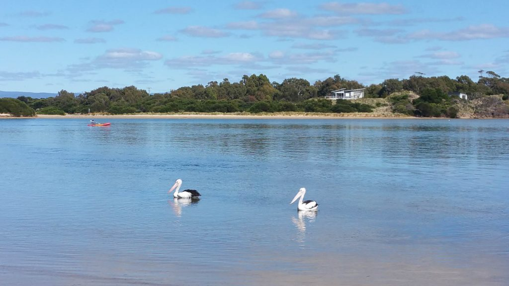 Swanwick Bay pelicans