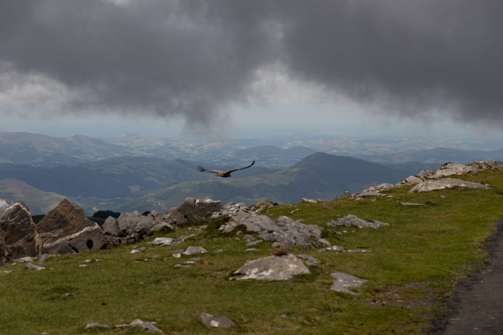 Golden eagle on the French Pyrenees