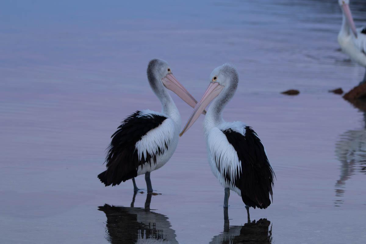 Australian pelicans standing in shallow water