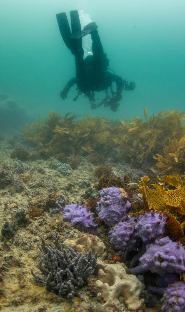 scuba diver with underwater camera, over seaweed bed