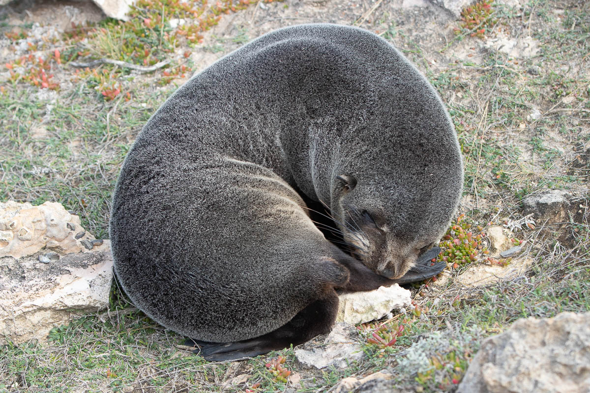 New Zealand fur seal pup sleeping