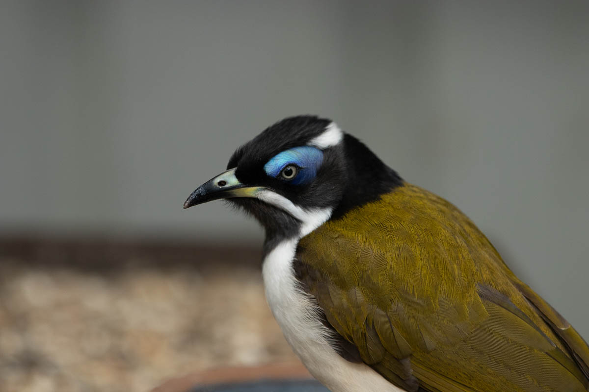 A blue faced honeyeater