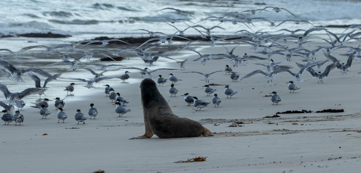 Sea lion pup and terns