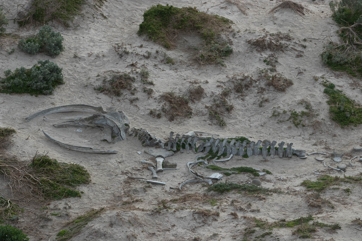 Southern right whale skeleton